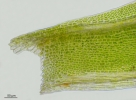 Fissidens bryoides var. bryoides